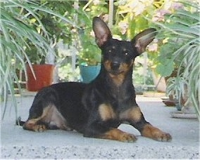 A large-eared black and tan German Pinscher is laying on a porch in between plants. Its head is tilted to the right