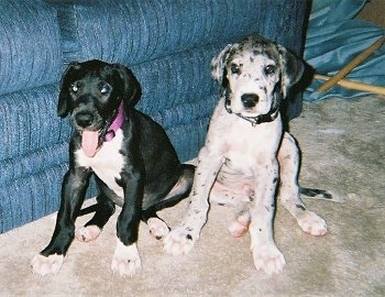 Two Great Dane Puppies are sitting next to a blue couch. One is black and white and has its tongue out and the other is white and gray merle.