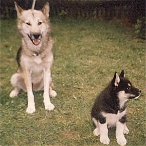 A black, tan and white Greenland Dog is sitting in grass behind a black with white Greenland puppy. The puppy is looking to the right