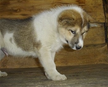A small white with tan and black Greenland Dog puppy is standing in front of a wooden wall