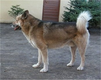 A brown with black and white Greenland Dog is standing in front of a house. Its mouth is open and tongue is out