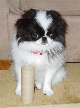 A white with black Japanese Chin is sitting in front of a tan couch and there is an empty cardboard toilet roll in front of it