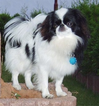 A white with black Japanese Chin is standing on a brick wall outside