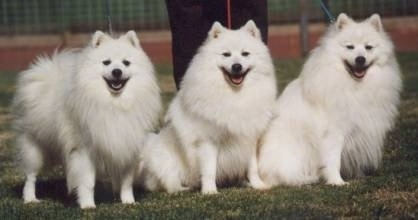 Japanese Spitz Dog Breed Information And Pictures