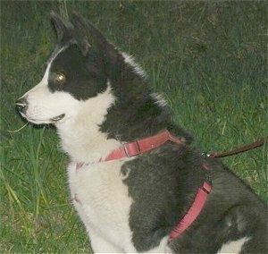 Close Up upper body side view - A black and white Karelian Bear Dog is wearing a red harness sitting in grass.