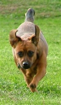 Front view - A brown with black Patterdale Terrier is running down a field and its ears are flopping up.