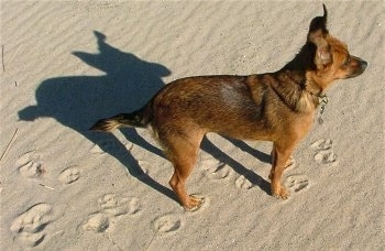 A brown with black Patterdale Terrier is standing outside in sand facing the right. There are paw prints leading up to it.