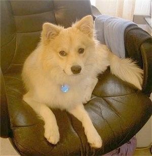 Eskimo Chihuahua Mix