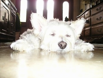 Close up front view down low level with the dog - A white Pomapoo is sleeping out on a hardwood floor.