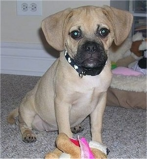 A tan with white Puggle puppy is sitting on a carpet and it is looking forward. There is a plush toy in front of it.