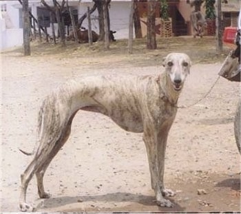 The right side of a tall, skinny, high arched white brindle Rampur Greyhound that is looking forward.