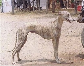 Right Profile - A tall, skinny, high arched, white brindle Rampur Greyhound dog is standing in dirt, its mouth is open and it is looking to the right.