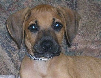 Miss Mae, the Rhodesian Ridgeback puppy