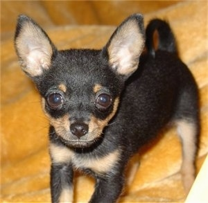 Close up front view - A short haired, perk-eared, black and tan Russian Toy Terrier puppy is standing on a yellow blanket looking up.