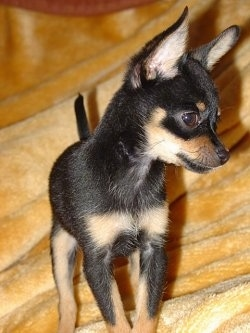 Close up view from the front - A short haired, black and tan Russian Toy Terrier puppy is standing on a gold blanket looking to the right.
