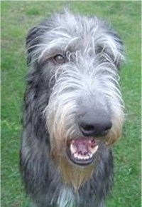 Close up front view - A long nosed black with grey Scottish Deerhound is sitting in grass and it is looking forward. Its mouth is slightly open and it looks like it is smiling.