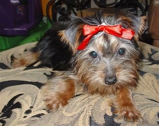 Close up front view - A little black and tan Silky Terrier dog is laying down on a pillow, it has a red ribbon in its hair. It has wide round eyes.