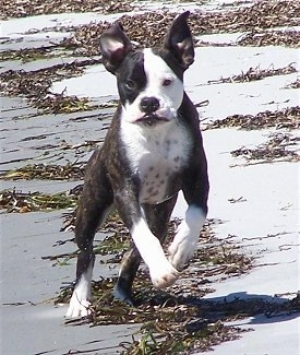 Action shot - A brindle with white Valley Bulldog puppy is jumping across sand and there are areas of seaweed behind it. The dogs ears are flying in the air.