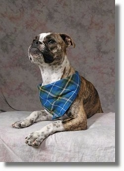 A brindle with white Valley Bulldog is wearing a blue plaid bandana and it is laying across a couch, it is looking up and forward.