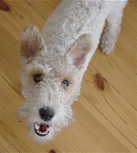 Top down view of a white with tan Wire Fox Terrier that is standing on a hardwood floor, its mouth is open and it is looking up. It has a wavy coat, a black nose and dark eyes.