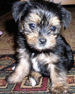 Close up front view - A small soft looking, black with brown Yorkipoo puppy is sitting on a rug, its head is down and it is looking forward. It has wide round eyes and a black nose. The hair on its muzzle is longer and is in front of the bottom of its eyes.