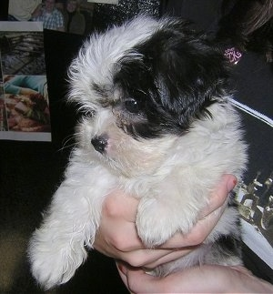 Close up - A person is holding a soft, thick coated, white and black Yorkipoo puppy in there hand. The puppy is looking down and to the left. The dog has a round head with a pushed back face, small fold over ears, a small black nose and wide dark eyes.