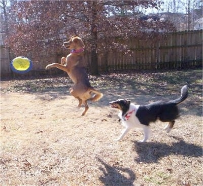 Tory the Chinook is catching a yellow frisbee in a yard. Sammy the Border Collie friend is walking next to Toryas it catches the frisbee