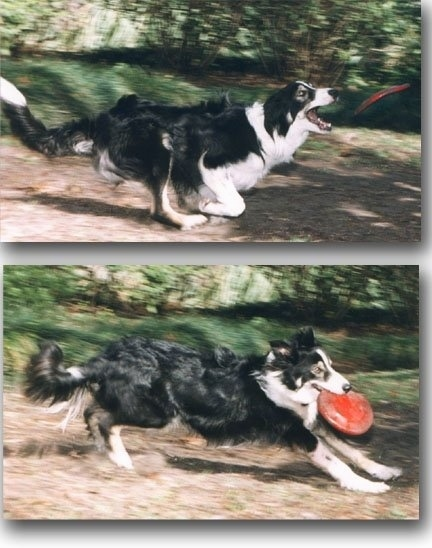 Top Photo - Zac the Border Collie is in the act of catching a red frisbee. Bottom Photo - Zac the Border Collie is running with a red frisbee in its mouth
