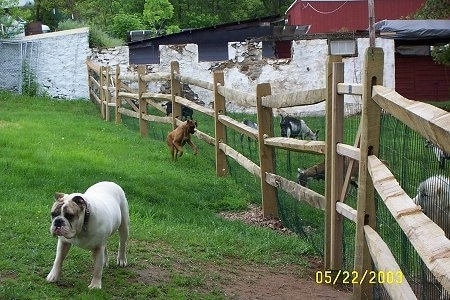 Allie the Boxer is running across a fence line pouncing at the goats and Spike the Bulldog is walking away