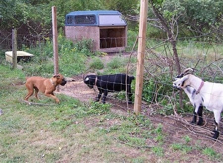 Allie the Boxer is jumping back away from the fence and the goats are moving closer to the wire fence trying to buck her