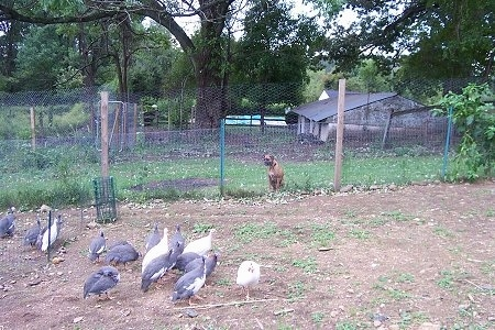 Allie the Boxer is sitting behind a wire fence and looking at the Guinea fowl