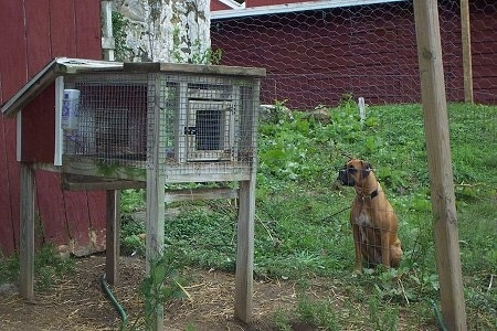 Allie the Boxer is sitting behind a wire fence and looking at a rabbit in a rabbit hutch