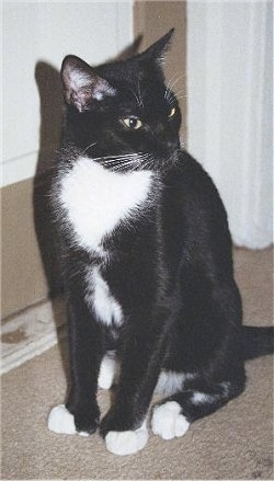 Spencer the black and white American Polydactyl cat is sitting on a carpet in front of a door and looking to the right