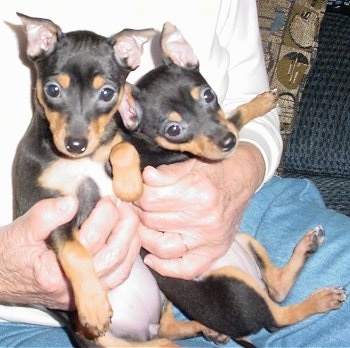 Two Miniature Pinscher/Rat Terrier mixes are sitting belly-out on a person's lap. The person is wearing blue jeans and a white shirt and has a hand on each puppy.