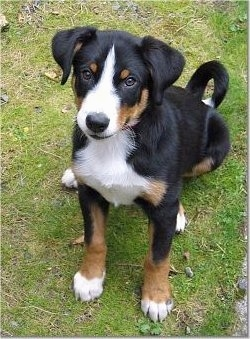 Appenzell Mountain Dog Breed Information And Pictures