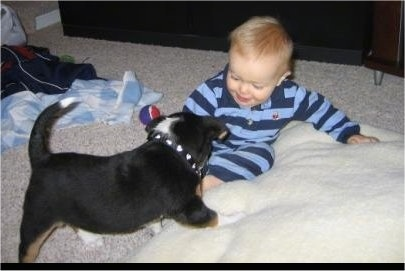 The back right side of a tri-color Aussiedor Puppy that is wearing a spiked necklace and it is playing with a baby