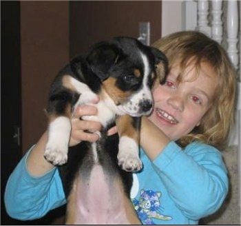 A tri-color Aussiedor puppy is being held in the air by a child.