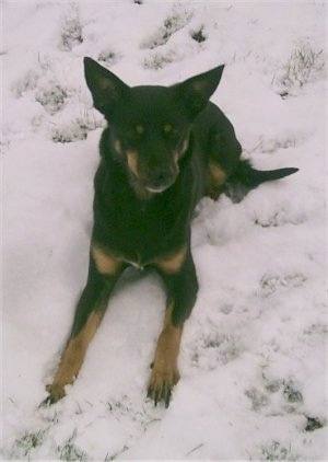 A black with brown Australian Kelpie is laying down in snow and it is looking forward.