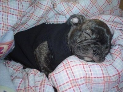 Jacob the Buggs puppy wearing a black shirt and sleeping in a blanket