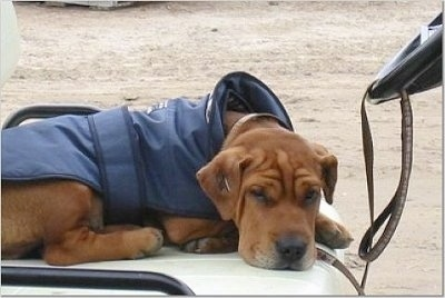 Angus the Ba-Shar laying on a golf cart with a jacket on