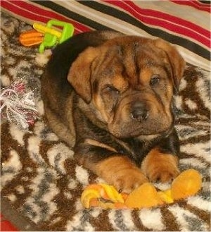 Max, a mix of a Chinese Shar Pei and a Basset Hound (Ba-Shar) as a young puppy