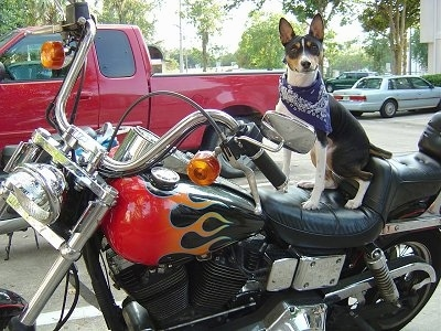 Ramsey the Basenji wearing a bandana sitting on a harley davidson motorcycle