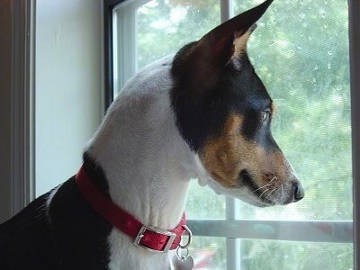 Close Up - Ramsey the Basenji looking out of the window
