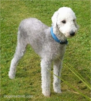 Brenin the Bedlington Terrier standing outside in the grass