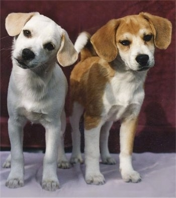 American Eskimo Beagle Mix