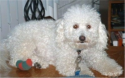 Sunny the Bichon at 19 months old