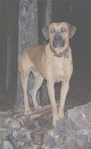 Tug the Black Mouth Cur standing on a firewood log pile