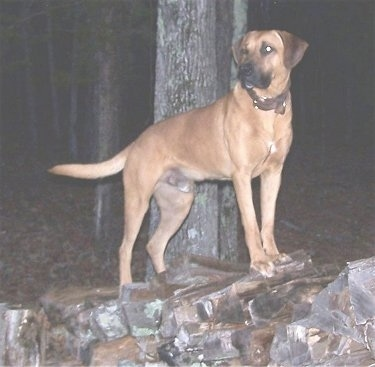 Tug the Black Mouth Cur standing on a firewood log pile and looking to the right