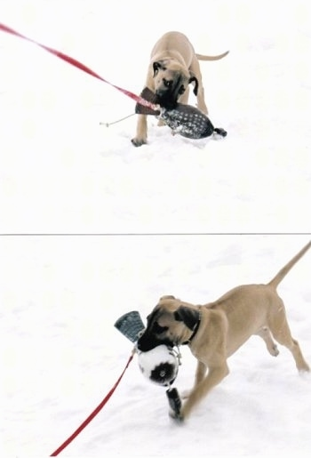 Top Photo - Tikka the Black Mouth Cur puppy pulling on a item attached to a leash. Bottom Photo - Tikka the Black Mouth Cur Puppy taking the leashed item back to its owner