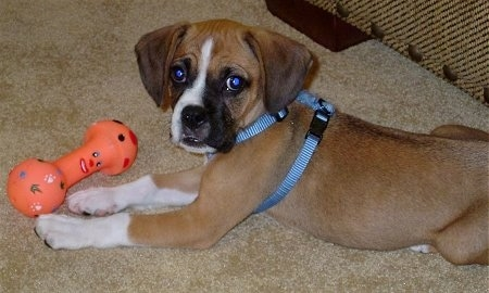 Bogle puppy wearing a blue harness laying on a carpetted floor looking at the camera holder with an orange dog toy in front of it